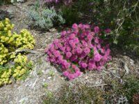 Pimelea rosea rice flower 'Deep Dream'