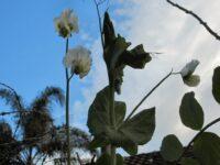 pisum sativum climbing garden peas willow variety