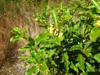 Pittosporum revolutum - yellow pittosporum has highly perfumed flowers