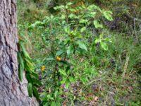 Pittosporum revolutum - yellow pittosporum