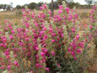 Pityrodia terminalis - native foxglove from western australia