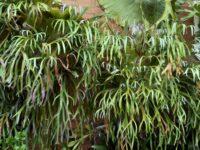 Platycerium bifercatum - elkhorn fern