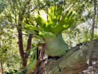 Platycerium superbum - staghorn fern
