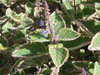 Plectranthus parviflorus spur-flower 'Blue Spires'