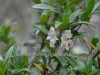Prostanthera monticola - buffalo mint bush
