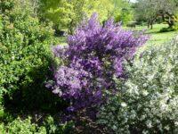 Prostanthera ovalifolia - mint bush