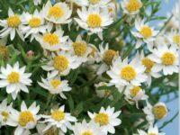Rhodanthe anthemoides sunray daisy 'Paper Star'