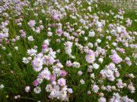 Rhodanthe chlorocephela is a gorgeous everlasting daisy