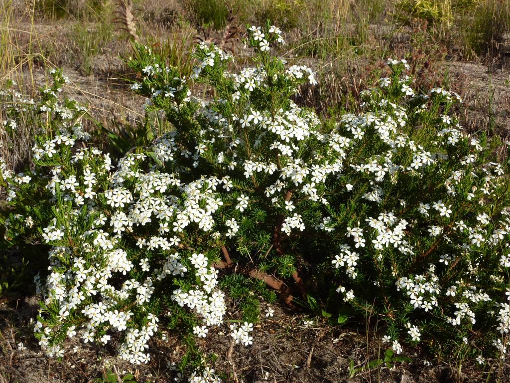 Ricinocarpos cyanescens – Little Wedding Bush | Gardening