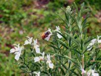 Bees love rosemary