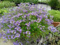 Scaevola aemula fan flower 'Aussie Salute'