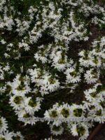 scaevola-aemula_fan-flower_new-summer-white-fan
