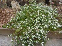 Scaevola aemula fan flower 'Zig Zag'