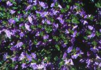 scaevola albida fan flower blue mist