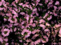 scaevola-albida_fan-flower_deep-pink-mist