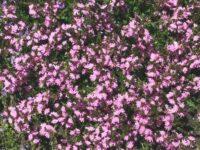 Scaevola albida fan flower 'Karwarra Pink'