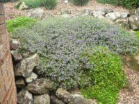 Scaevola albida fan flower 'Mauve Clusters'