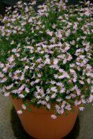 scaevola albida fan flower pink mist