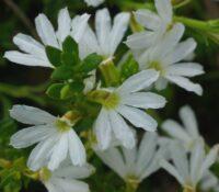Scaevola albida - fan flower 'White Mist'