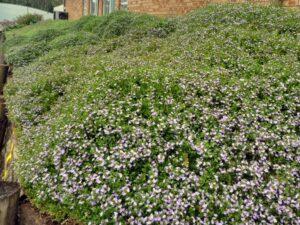 Scaevola albida 'Mauve Carpet' is a great ground cover plant