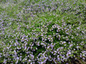 Scaevola albida 'Mauve Carpet' is a good Australian native ground cover