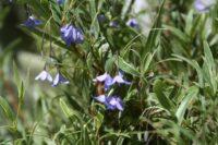 Sollya heterophylla bluebell creeper 'Edna Walling Blue Bells'