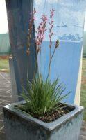 Stylidium graminifolium trigger plant 'Tiny Trina'