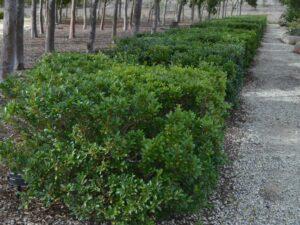 Syzygium australe lilly pilly 'Bush Christmas'