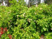 Syzygium luehmannii-x-wilsonii lilly pilly 'Cascade'