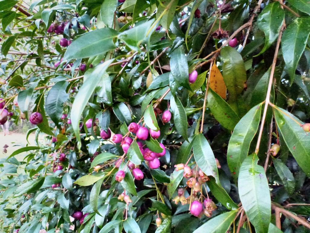 Syzygium Paniculatum Lilly Pilly Gardening With Angus