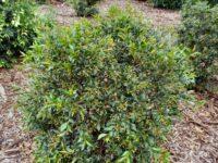 Syzygium paniculatum lilly pilly 'Lilyput'