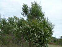 Taxandria parviceps - fine leaf tea tree