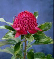 Telopea speciosissima x oreades waratah 'Shady Lady Red'