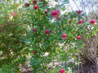 Telopea speciosissima x monganensis waratah 'Braidwood Brilliant'