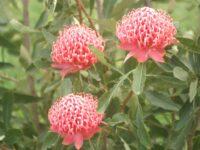 Telopea speciosissima x oreades waratah 'Shady Lady Pink'