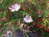 Telopea speciosissima waratah 'Shade of-Pale'