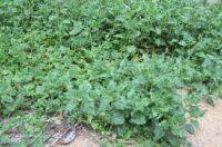 Tetragonia tetragonoides - bush spinach