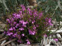Tetratheca thymifolia black-eyed-susan 'Bicentennial Bell'
