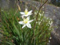 Thelionema caespitosum - tufted blue lily white variation