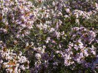 Thryptomene saxicola heath myrtle 'F C Payne'