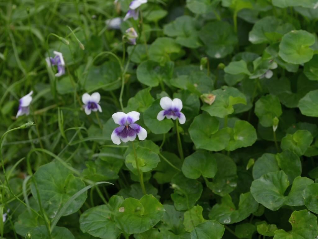 Viola Banksii Native Violet Gardening With Angus