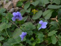 Viola hederaceae native violet 'Baby Blue'
