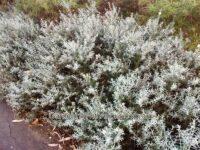 Westringia dampieri - native rosemary