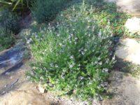 Westringia fruticosa x eremicola coastal rosemary 'Wynyabbie Gem'