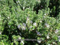 Westringia fruticosa coastal rosemary 'Seafoam Swell'