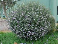 Westringia 'Edna Walling Rosemary'