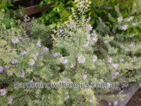 Westringia coastal rosemary 'Lilac and Lace'