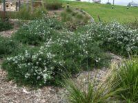 Westringia fruticosa coastal rosemary 'Mundi'