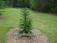 Wollemia nobilis - Wollemi pine