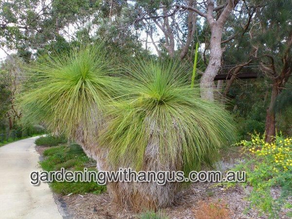 Xanthorrhoea preissii \u2013 Grass Tree